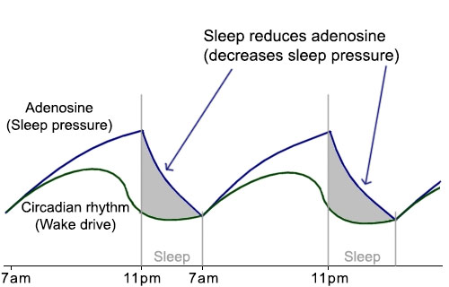 Regulators for sleep and wakefulness
